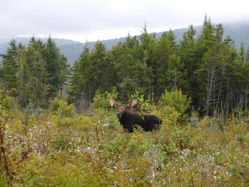 A Moose on the Appalachian Trail in Maine
