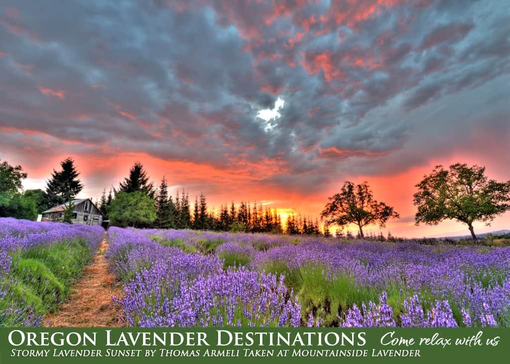 Lavender Farm in Oregon