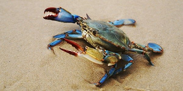 Large Blue Crab, blue claws