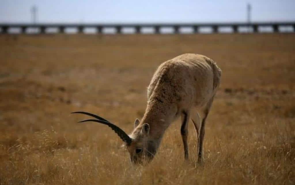 Do's and Don'ts Tibetan antelope killed for shahtoosh fur
