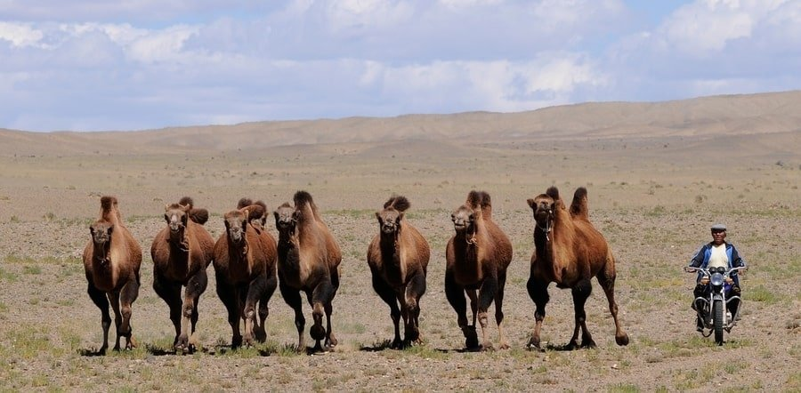 Thousand Camel Festival has The Bactrian camel