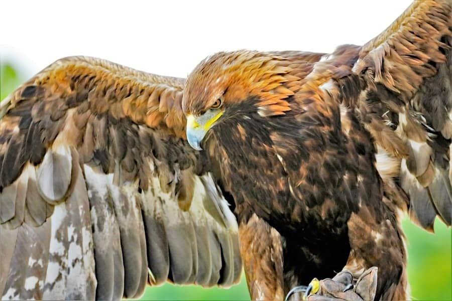 Golden eagles are proud creatures