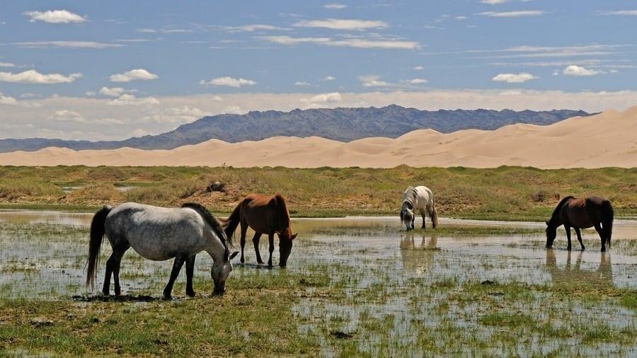 Homestay Mongolia, Herding horses