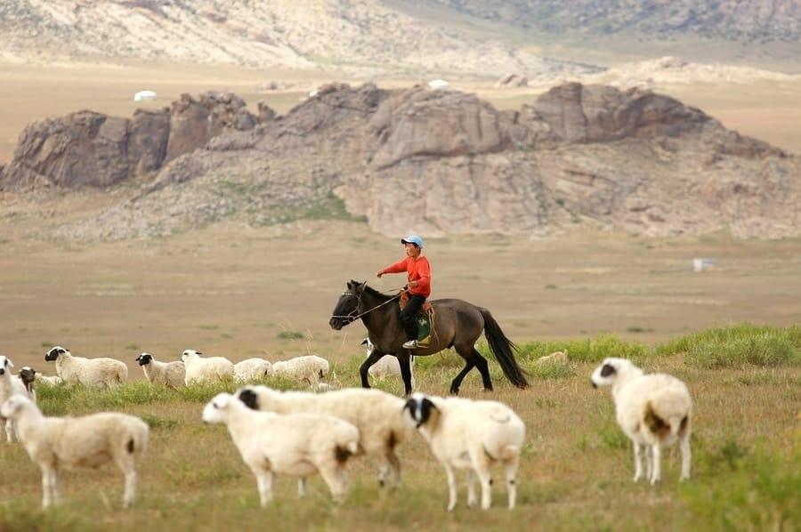 Mongolian Horse herding