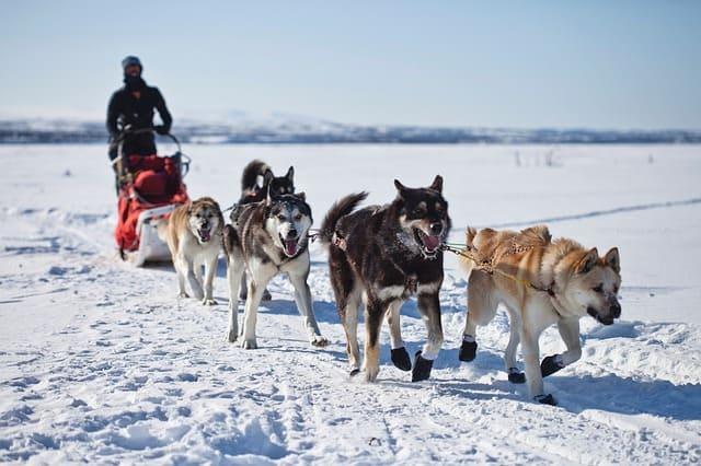 Wyoming Dog Sledding Tours