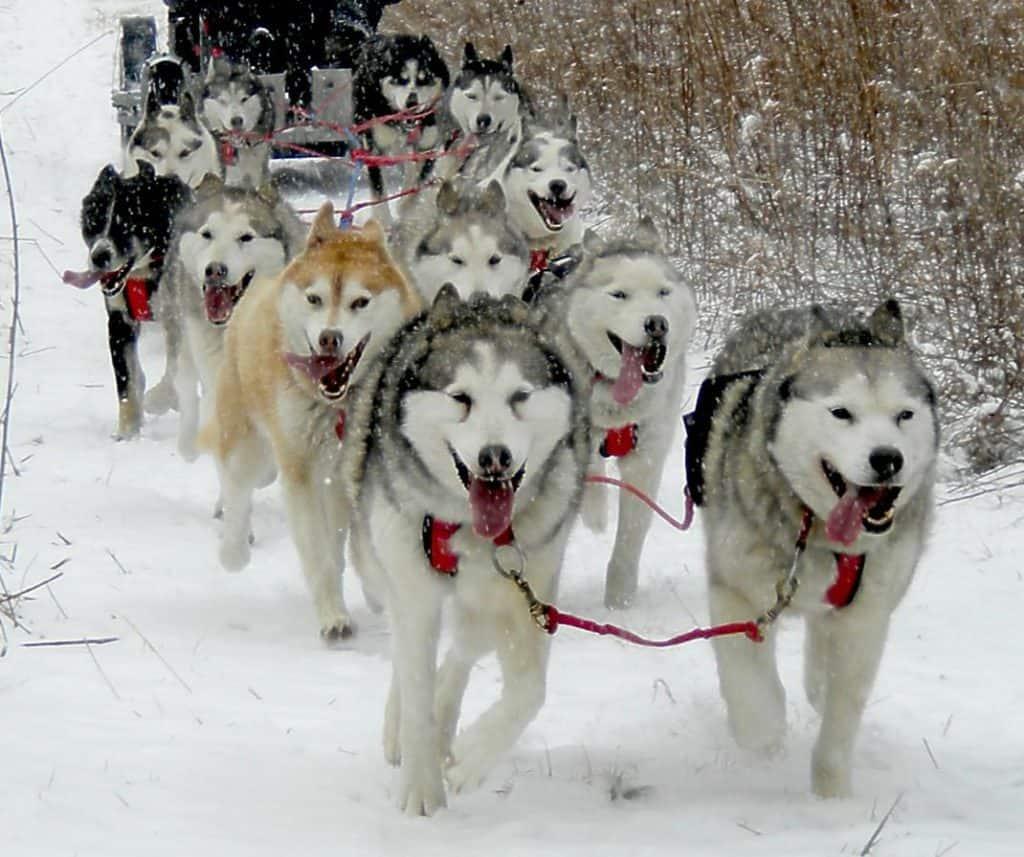 Husky-Powered-Dog-Sledding-Maryland