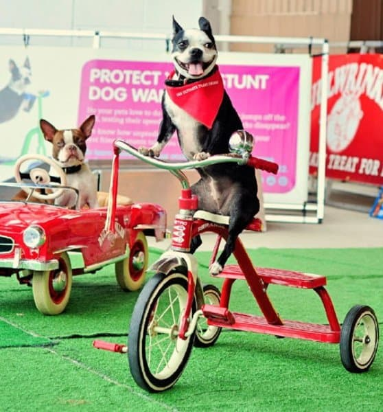 Stunt-Circus-Dogs-Woofstock