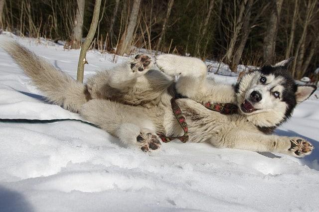 dog-sledding-tours-maine