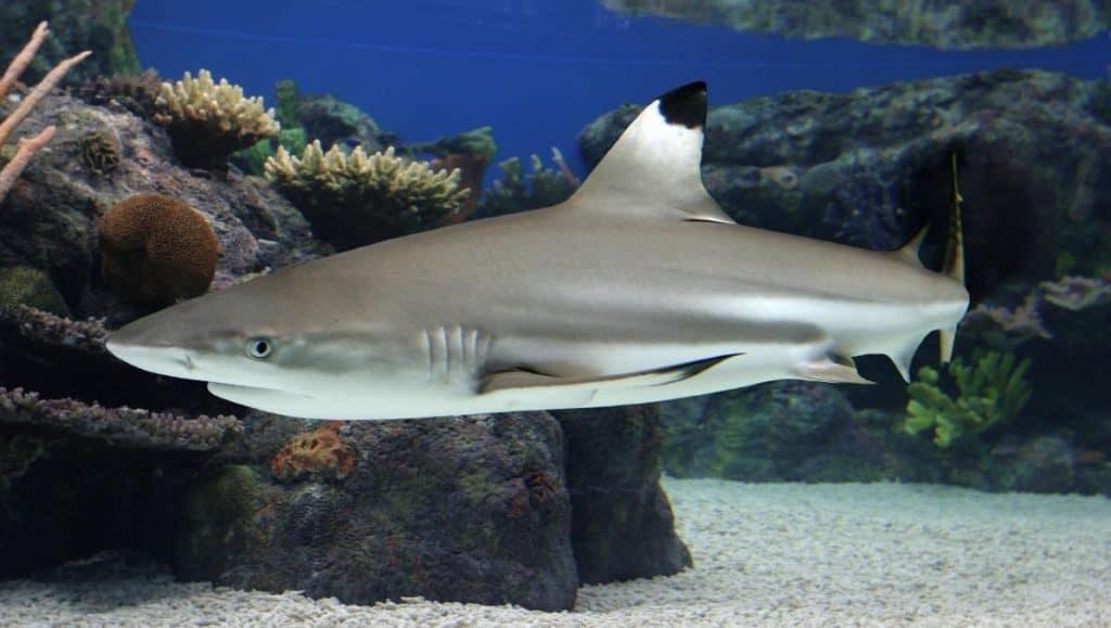 Blacktip Reef Shark- Pigeon Island- Sri Lanka