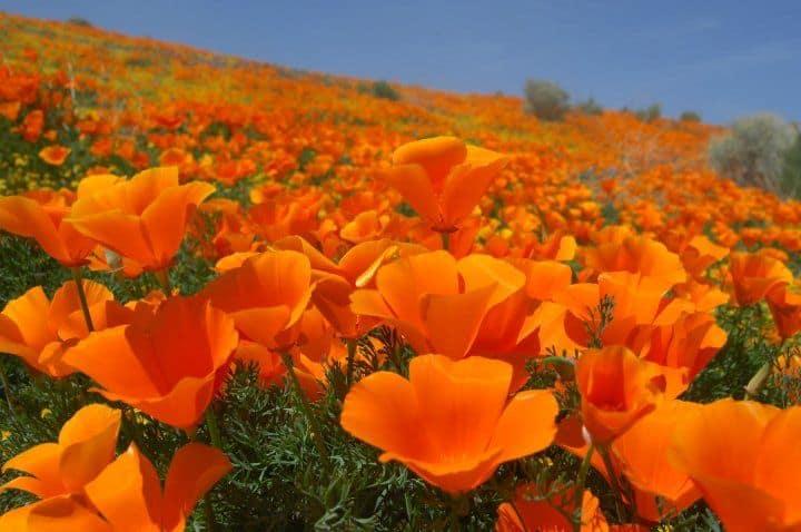 California Poppy Festival