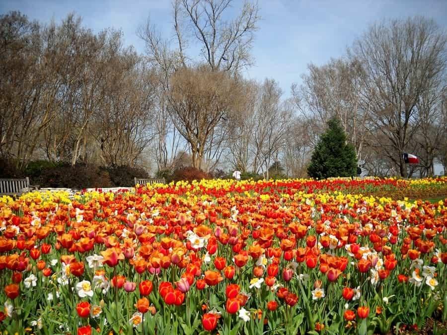 Dallas Blooms - Texas Tulips