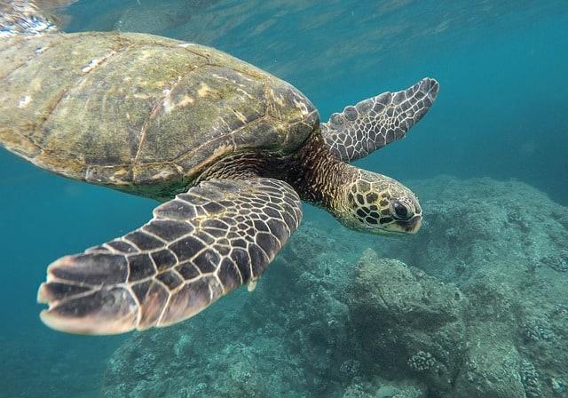 Giant Turtle at Pigeon Island National Park Sri Lanka