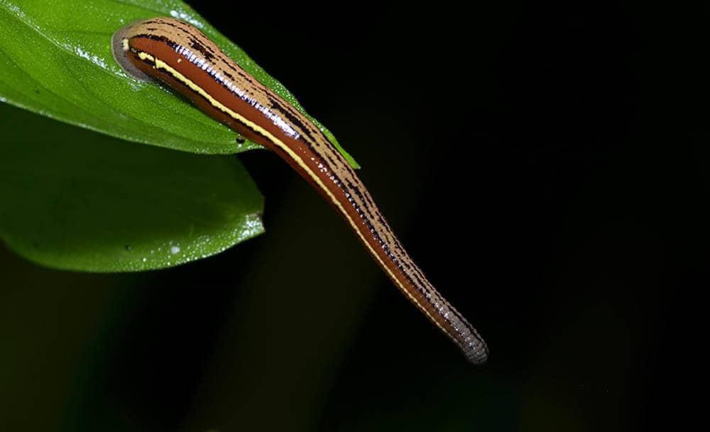 Leech Sri Lanka
