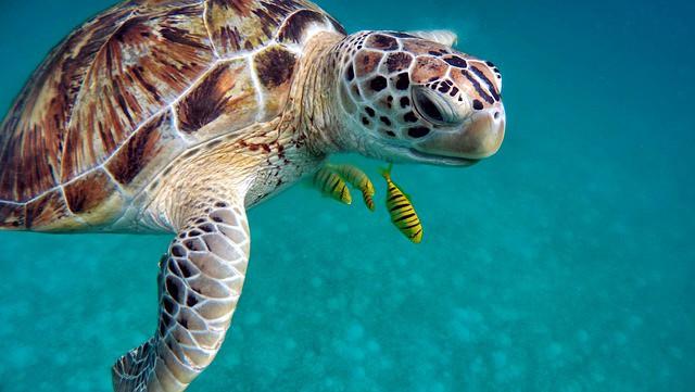Ukulhas- Diving-Snorkeling Spots Maldives-turtles