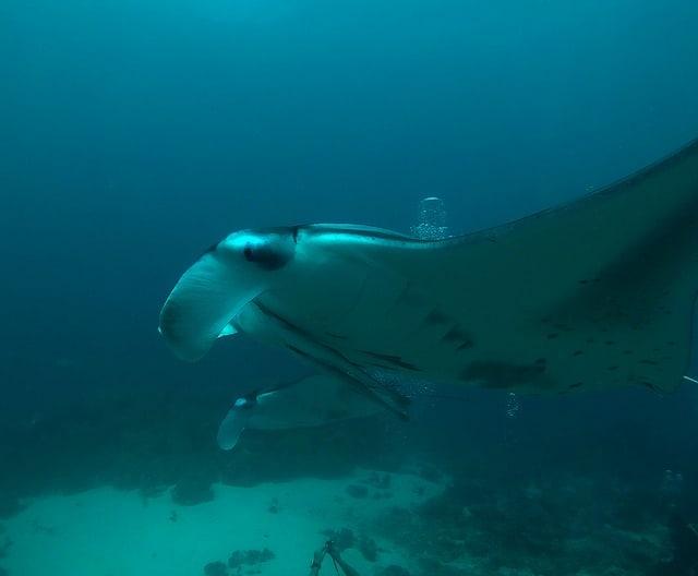 Maldives-Manta-Rays
