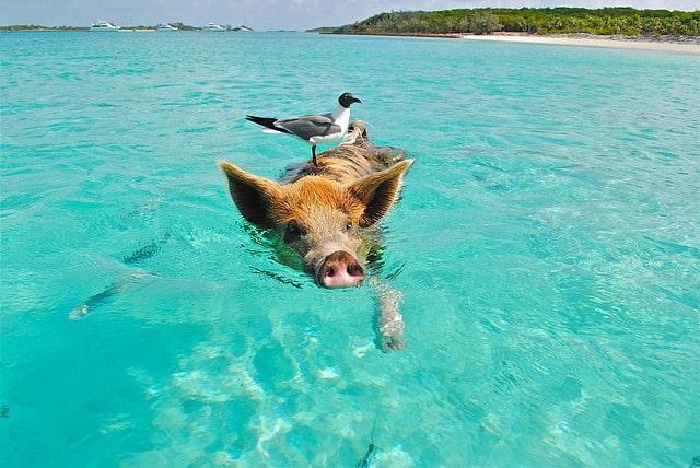 Pig Island Bahamas - Exuma Big Major Cay