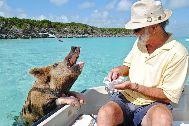 Swimming Pigs at Pig Island Bahamas