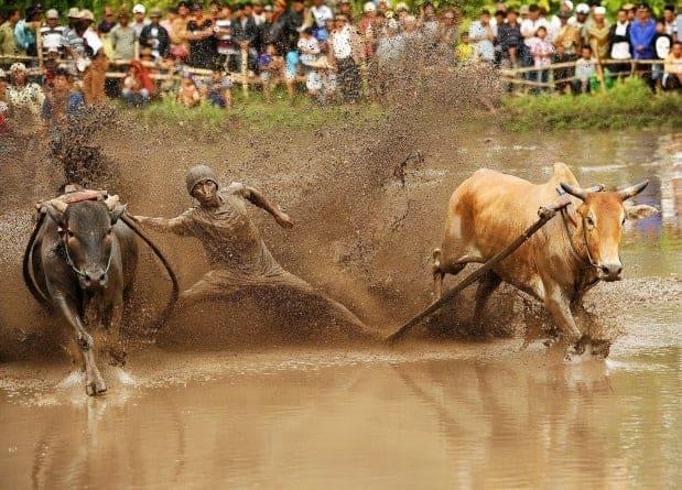 Batusangkar Cow Racing 1