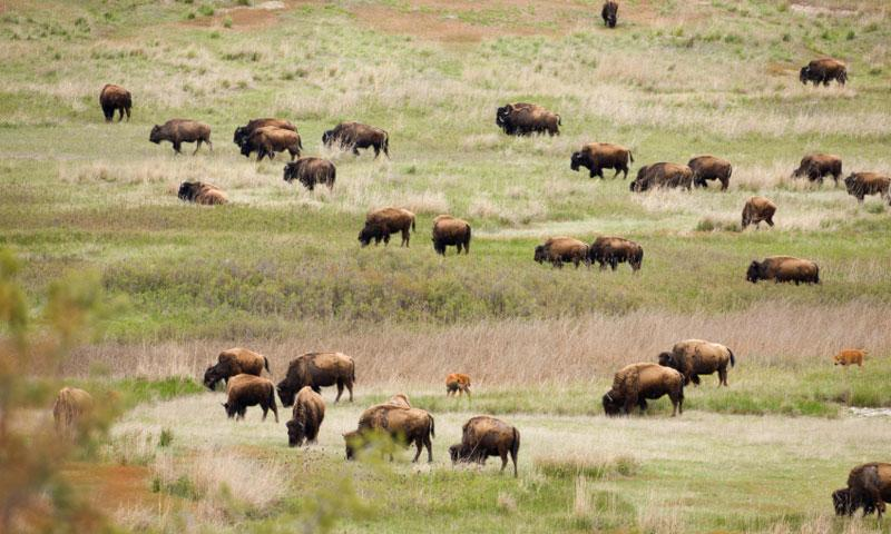 Bison_roaming_the_National_Bison_Range_lg