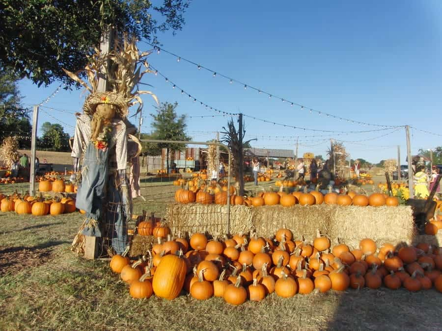 Texas Halls Pumpkin Farm & Corn Maze