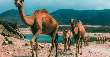 Ultimate guide to Oman, Camels